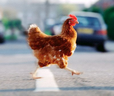 Pourquoi le Poulet traverse la route ? - Page 17 Chicken_crossing_road