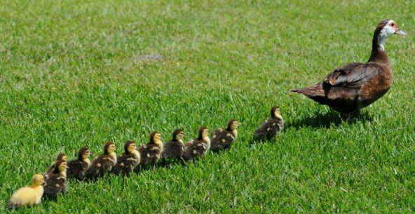 canard-famille